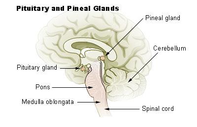 Epifýza (pineal glang). (wikimedia)