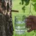 Návod na sběr březové vody krok za krokem